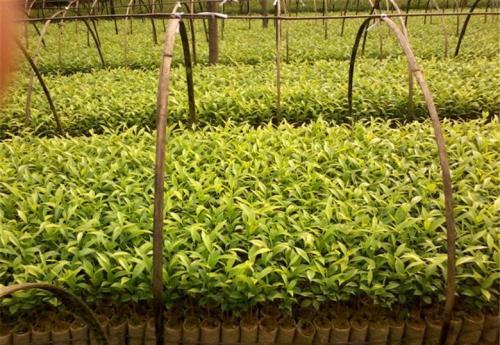 今日热点:湛江土茯苓芽苗功效和作用