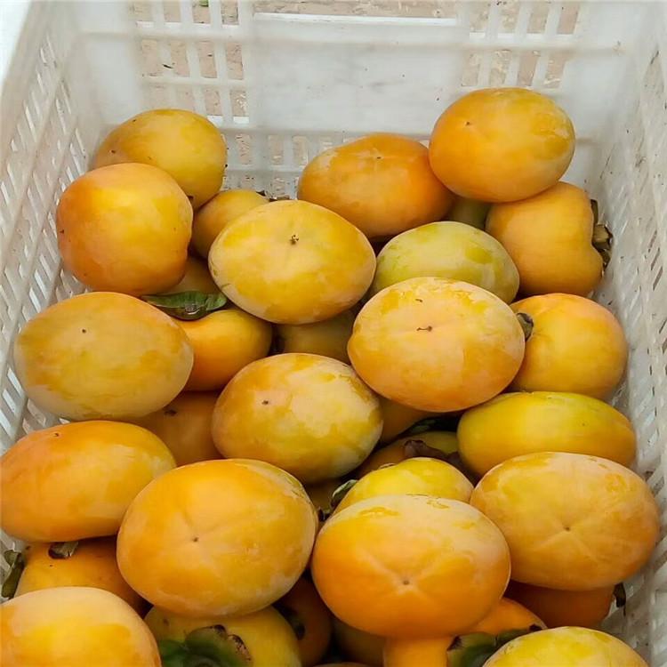 苹果柿子树苗柿子树价格哪里有柿子树