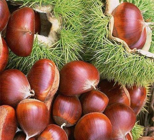 油栗树苗_泰山薄壳板栗树苗适宜大范围种植的品种