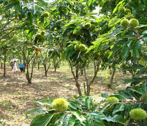 泰山油光板栗树苗_泰山油光板栗苗提供亩产效益的管理要点