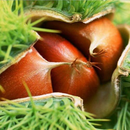 小板栗树苗_泰山薄壳板栗苗少量种植树形是什么