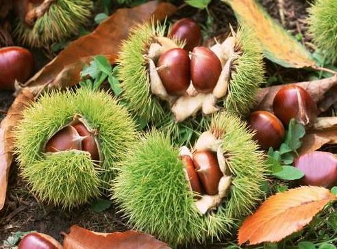 油栗苗_泰山油光板栗树苗适宜大范围种植的品种