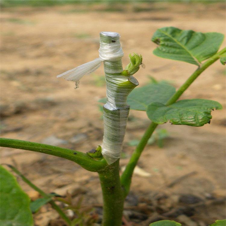 信阳罗山香玲核桃苗种植示范基地