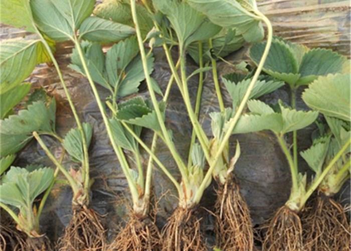 云浮新兴哪里有好吃的草莓苗品种 品种草莓苗