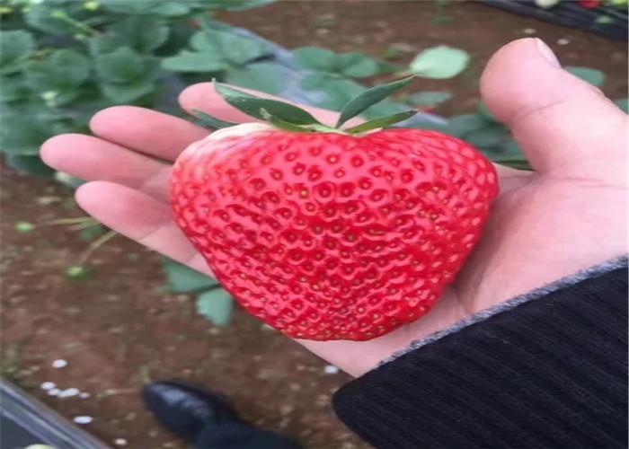 湖南湘潭牛奶草莓苗出售价钱