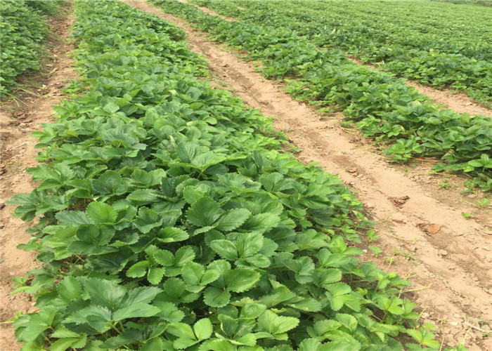 山东济南草莓苗哪里有卖、草莓苗育苗基地报价