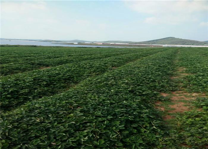 山东莱芜妙香草莓苗哪里有卖、妙香草莓苗送货报价