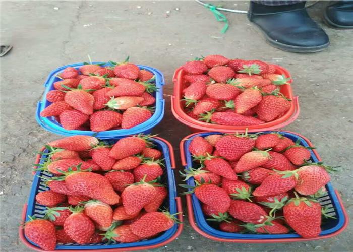湖南湘潭大棚草莓苗哪里有卖、大棚草莓苗栽种技术