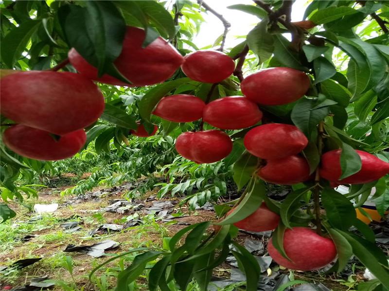 西双版纳勐腊秋月梨树苗产地