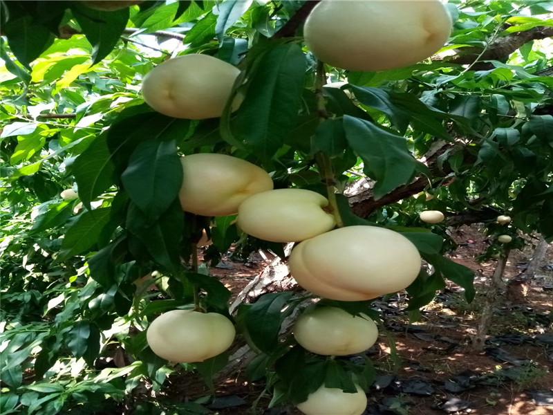 新疆乌鲁木齐6-05油桃苗这里卖的好