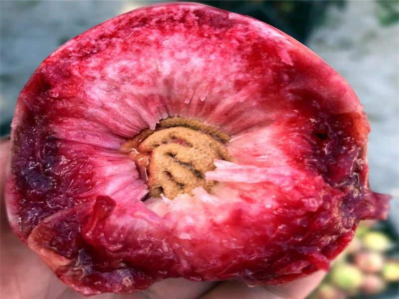 重庆忠血桃树苗新品种价格