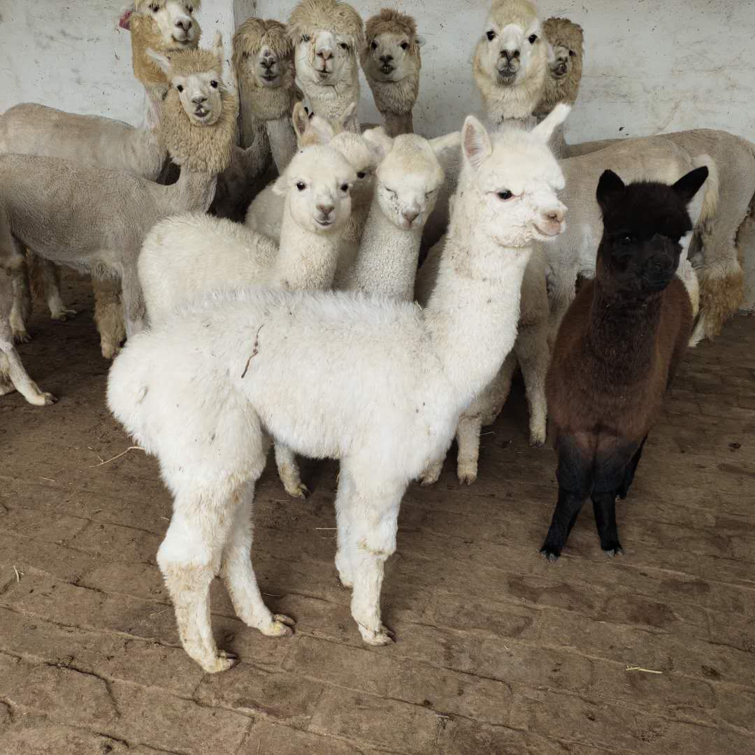顶山小羊驼喂养技巧-牧海养殖