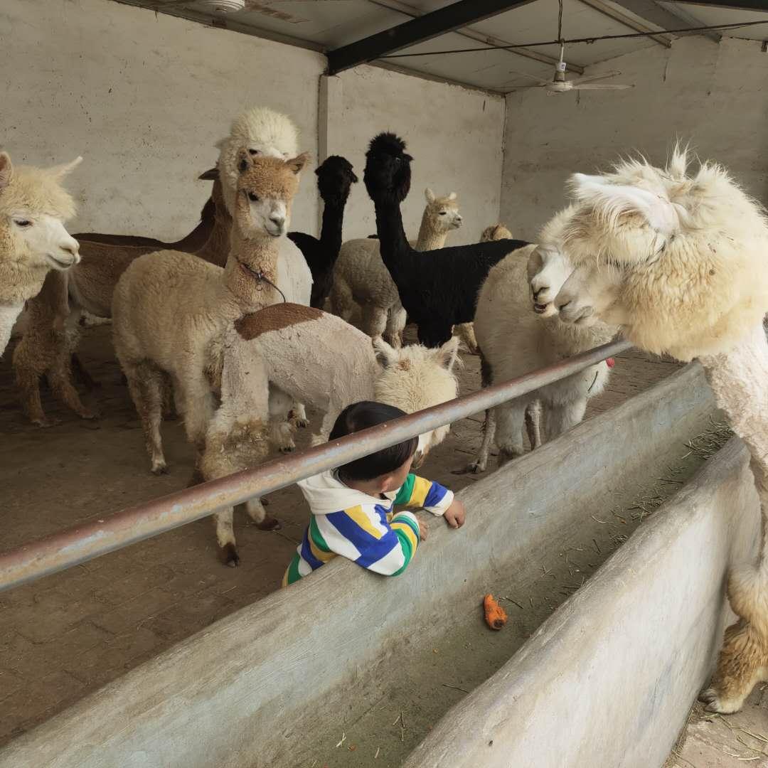 七台河市桃山区附近羊驼价格