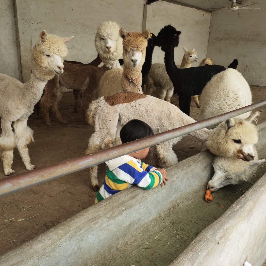 霍州宠物羊驼多少钱一只-宠物羊驼报价