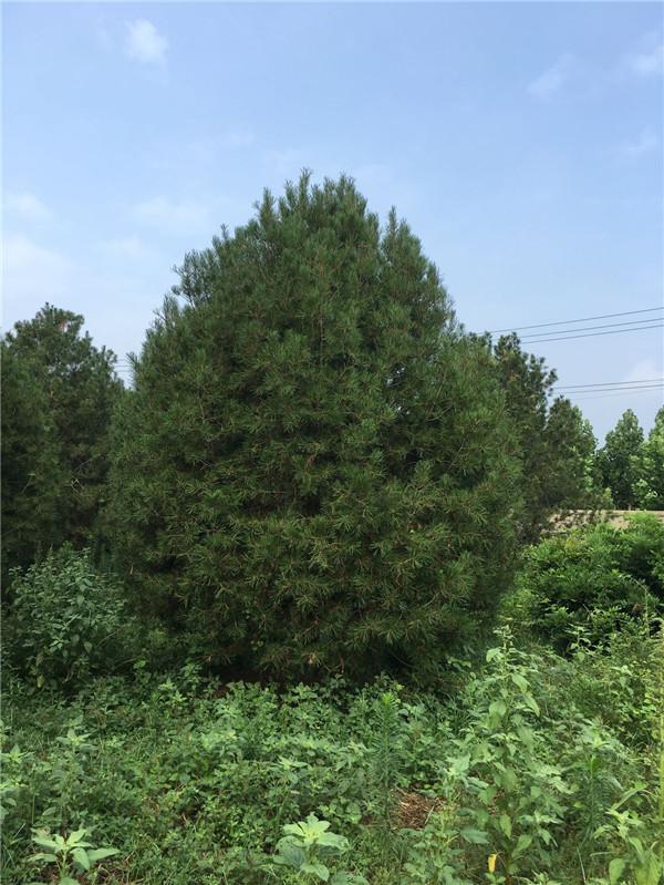 泰山区高度5米白皮松量大--福顺园林