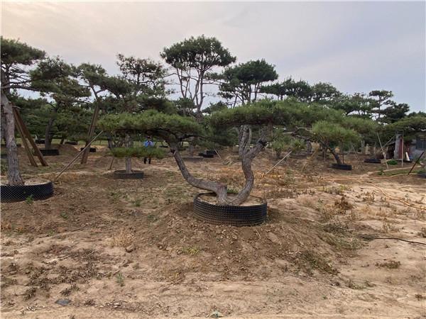 泰安市16公分造型景观松自产自销--福顺园林