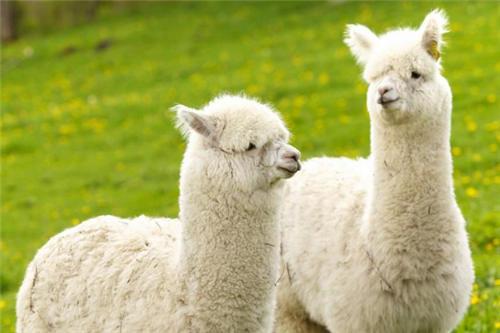 大方羊驼饲养方法同城