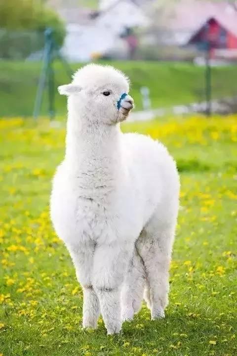 龙潭羊驼有哪些品种附近
