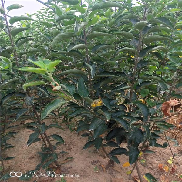 山东红富士苹果苗烟富10苹果树的介绍苹果苗基地