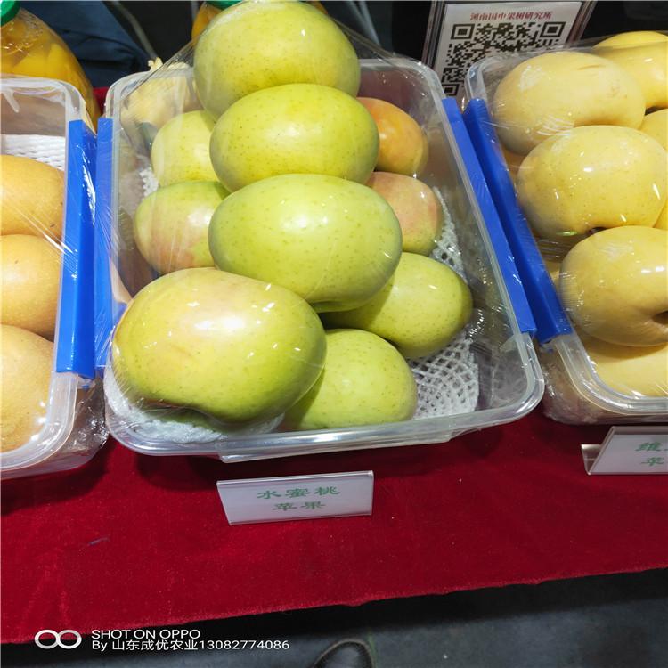 红富苹果苗苹果树苗苹果苗多少钱
