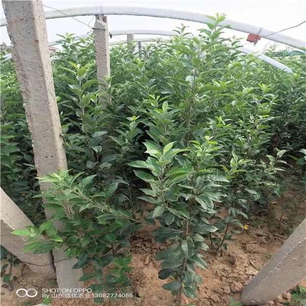 苹果苗出售矮化烟富8号苹果树介绍一棵苹果苗价格、
