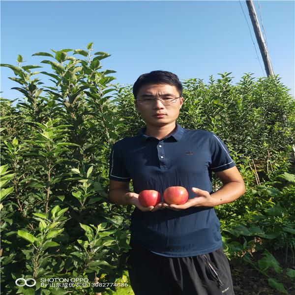 哪里有苹果苗烟富苹果树苗8号苹果苗基地