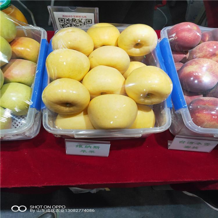 贵州苹果苗烟富10号苹果树苹果苗多少钱