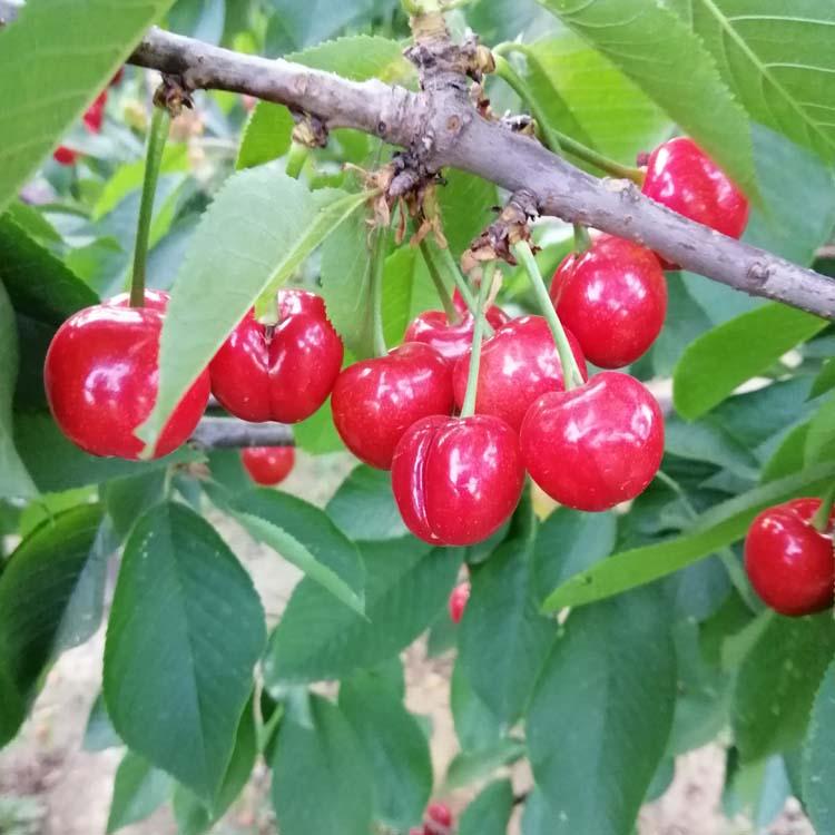 西宁吉塞拉扦插木常年出售美早樱桃苗供应价格
