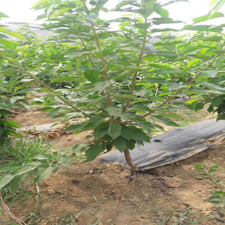 大庆吉塞拉小苗价格公正合理,欢迎选购U2-7樱桃苗品种优点介绍批发价格