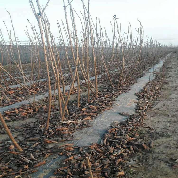 齐早矮化樱桃苗基地优质果苗福星矮化樱桃苗提供栽培技术经验
