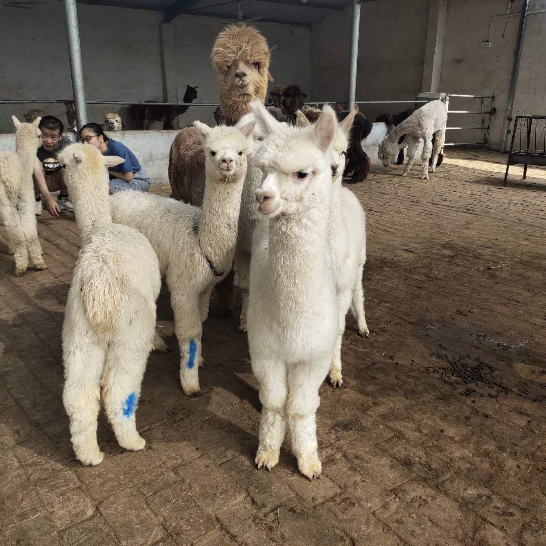 新密羊驼一般多少钱一只-羊驼价格行情
