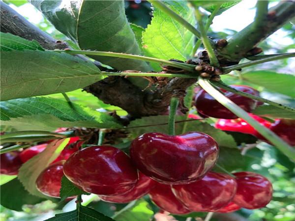 哪里有矮化樱桃树卖、湖南湘潭矮化樱桃树主产区报价