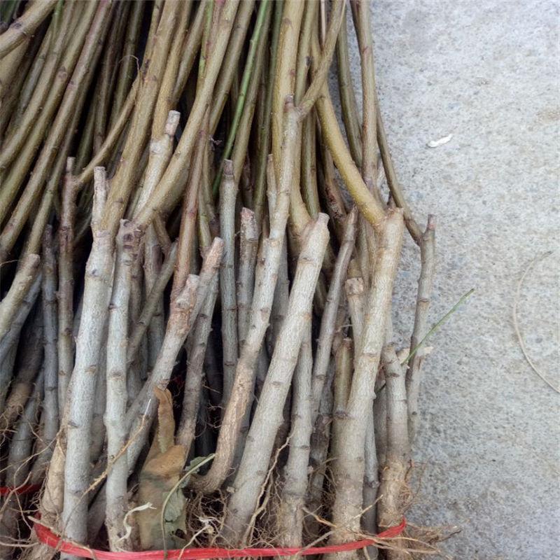 福州罗源种植桃树苗厂家直销