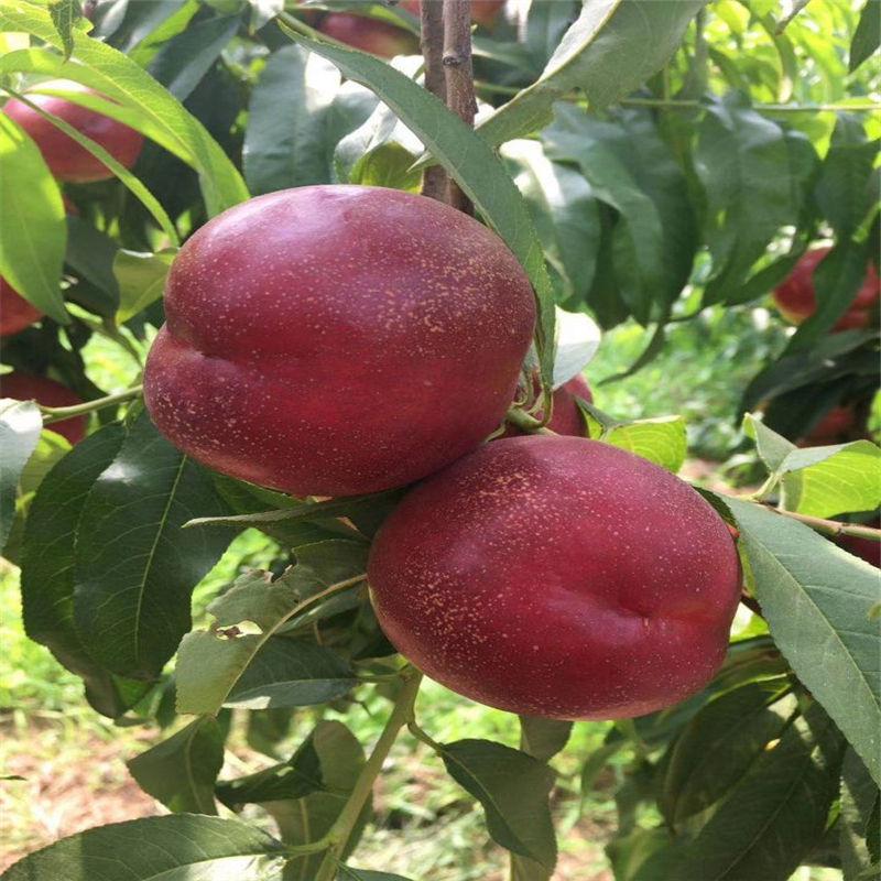 济宁微山哪有桃树苗价格透明
