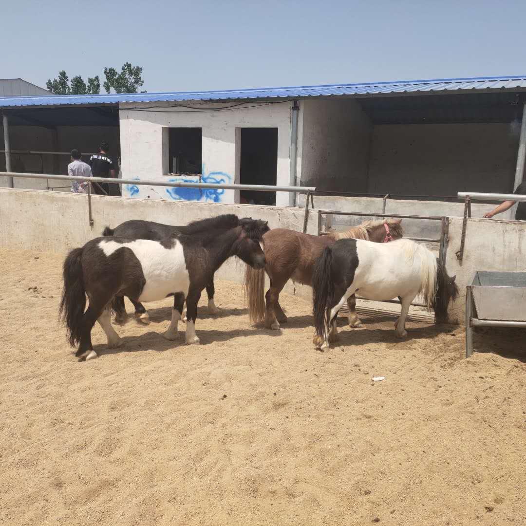 德惠进口设特兰矮马养殖场