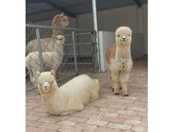 温顺可爱的羊驼(草泥马)怎么样,好养吗?&上饶羊驼/珍禽养殖基地