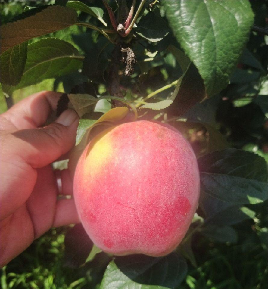 安徽马鞍山苹果苗供应超低价厂家直销