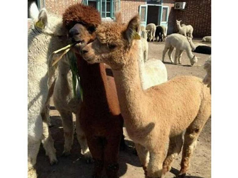 萌宠羊驼市场价&温州羊驼/珍禽养殖基地
