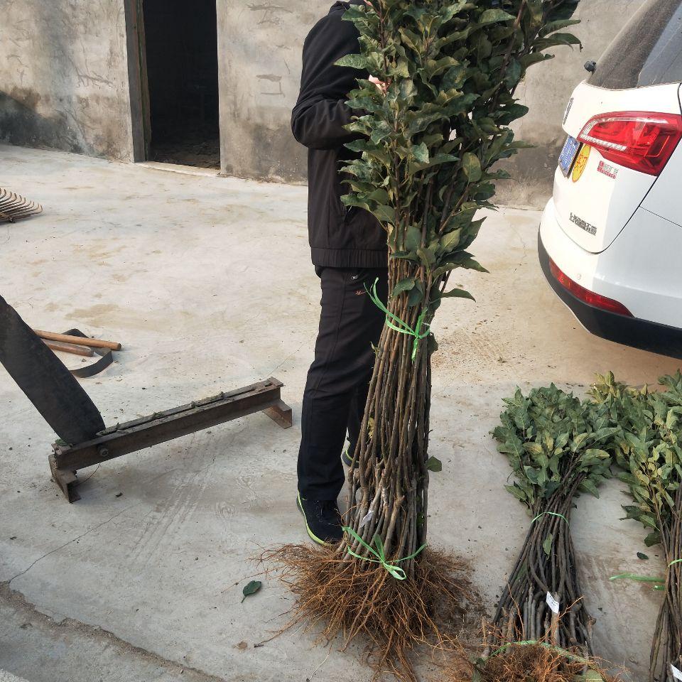 喀什疏勒苹果树种植示范基地