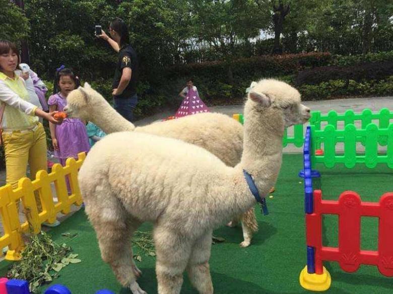 今日报价:羊驼批发免费运输到家--西安