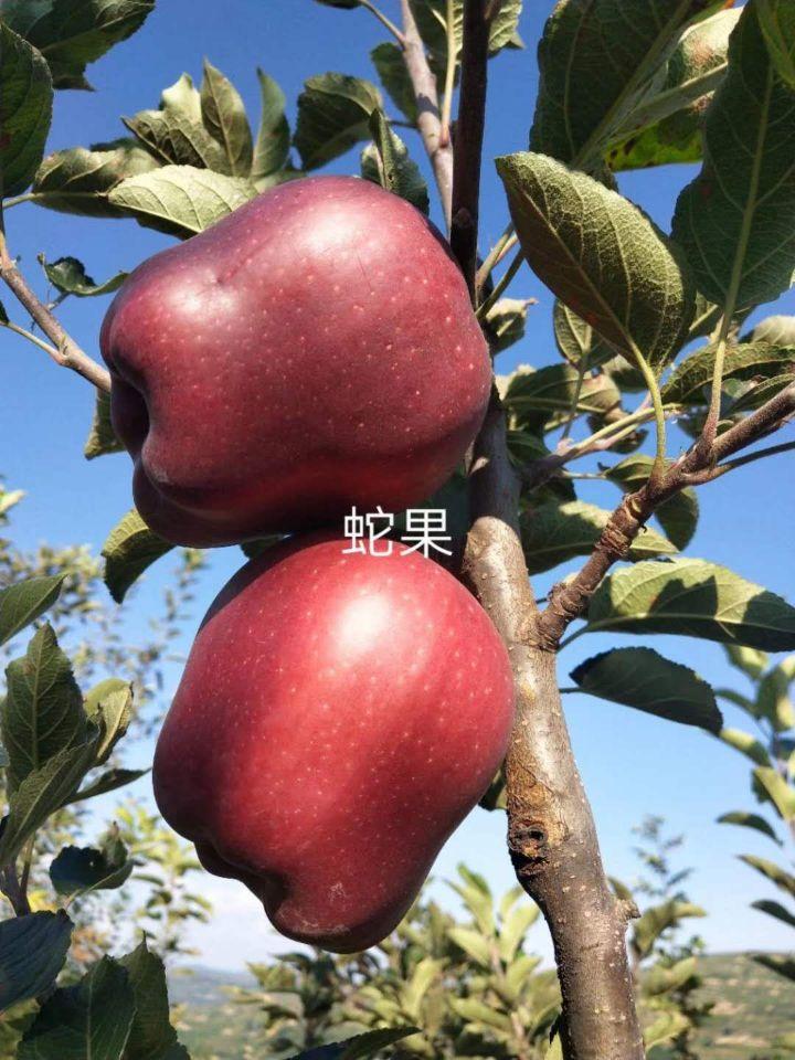 浑源新红将军苹果苗优质高产