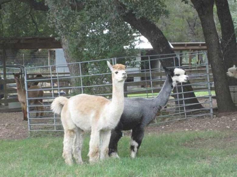 纯种成年羊驼养殖方法/效益/利润&阿克苏羊驼/珍禽养殖基地