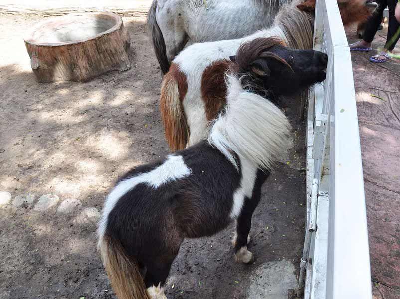 矮马养殖--旅游区观赏矮马养殖_七台河「正企马业」