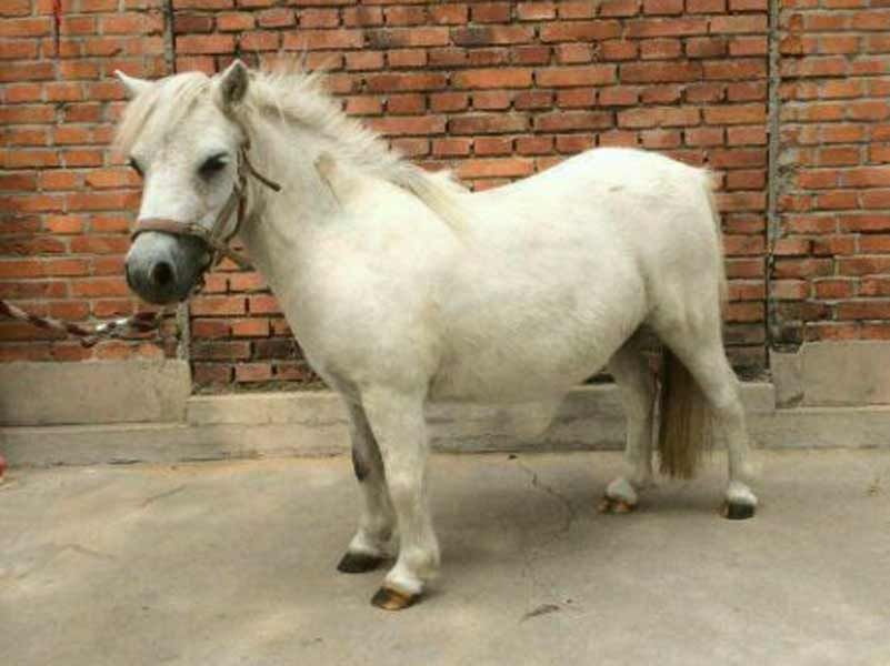 设兰特矮马一匹多少钱--通化