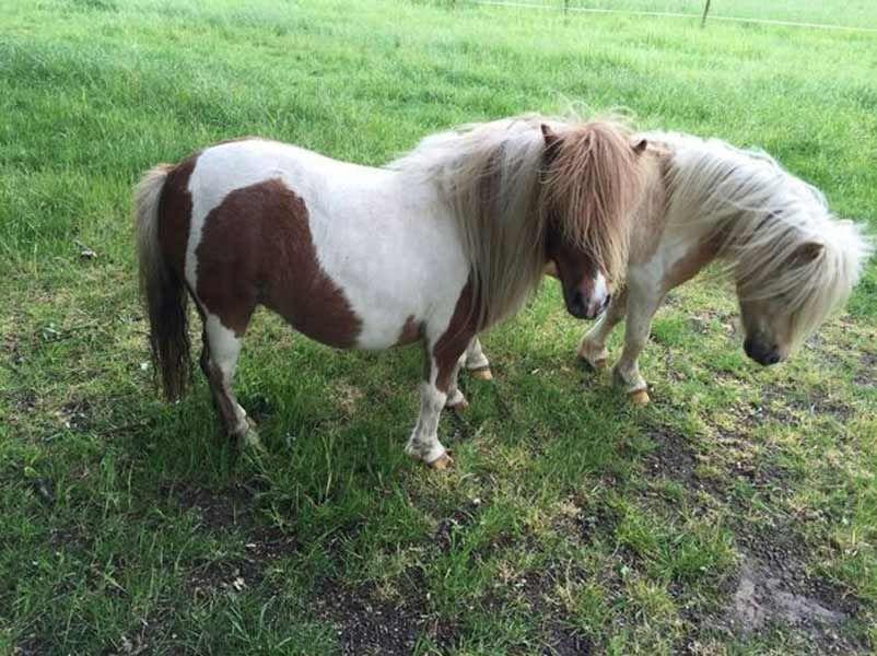 芜湖矮马养殖场,德保矮马养殖场,儿童骑行马求购
