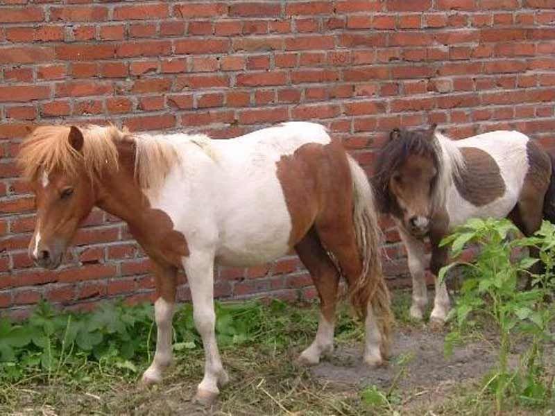 珠海市旅游用矮马多少钱一只_ 厂家供应旅游用矮马