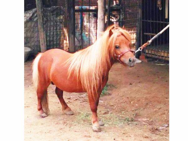 矮马养殖一匹多少钱--厦门