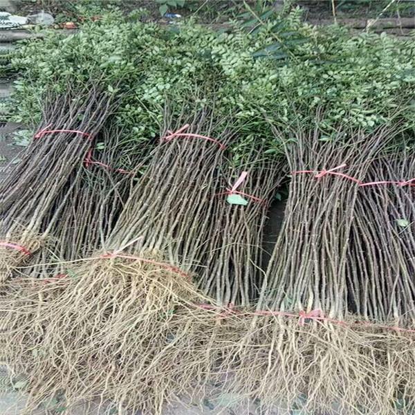 1米高花椒苗哪里有,08粗花椒树苗