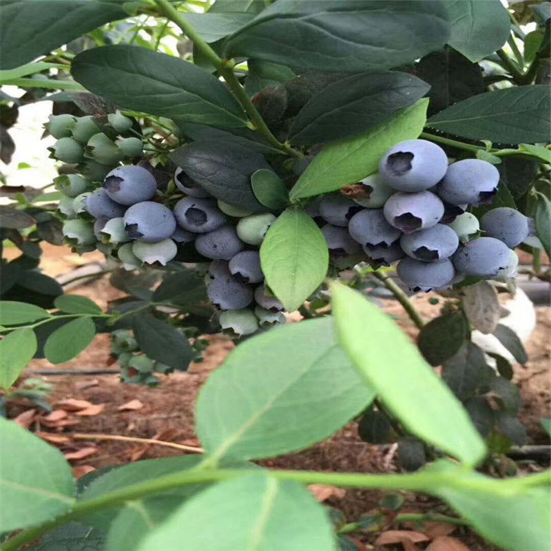 槐荫都克蓝莓苗几年结果