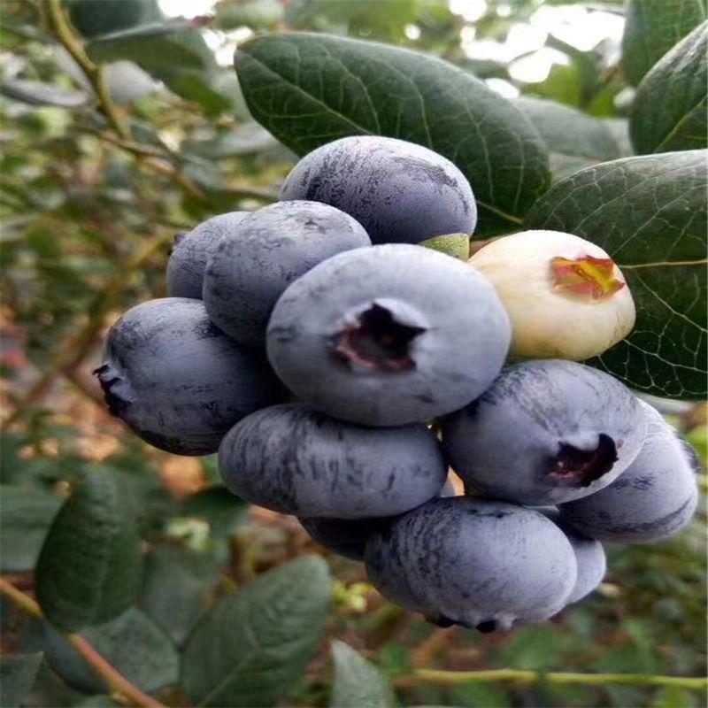 东营广饶买蓝莓苗价格